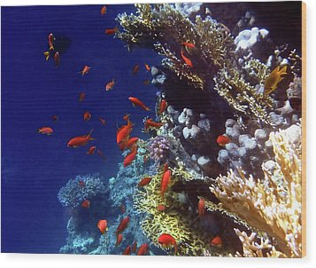 Colorful Lyretail Anthias Wood Print