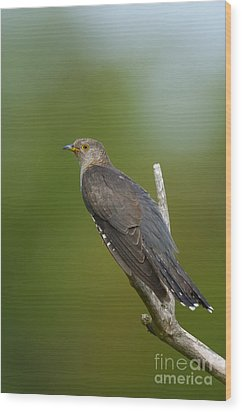 Common Cuckoo Wood Print by Steen Drozd Lund
