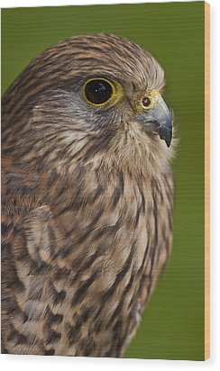 Common Kestrel Falco Tinnunculus Wood Print