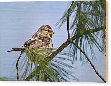 Wood Print featuring the photograph Common Redpoll Bird by Christina Rollo