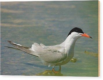Common Tern Portrait Wood Print by Cliff Norton