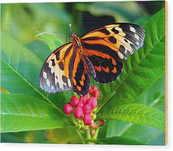 Common Tiger Glassywing Butterfly Wood Print by Amy McDaniel
