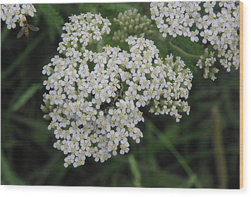 Common Yarrow Closeup Wood Print by Robyn Stacey