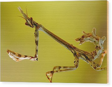 Wood Print featuring the photograph Cone Head Mantis by Richard Patmore