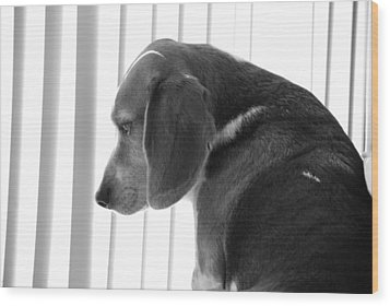 Wood Print featuring the photograph Contemplative Beagle by Jennifer Ancker