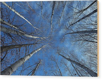 Converging White Birches Wood Print