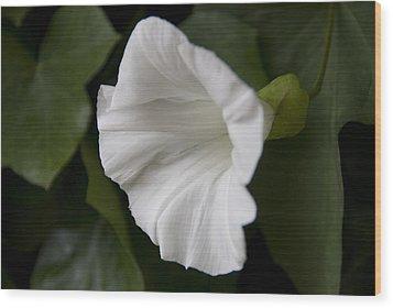 Convolvulus Weed Wood Print by Svetlana Sewell