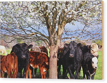 Cool Cows Wood Print by Kelly Reber