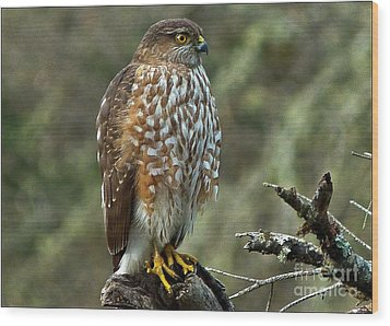 Coopers Hawk Wood Print by Julia Hassett