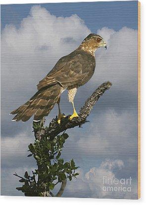 Cooper's Hawk On Watch Wood Print