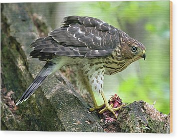 Wood Print featuring the photograph Coopers Hawk by Timothy McIntyre