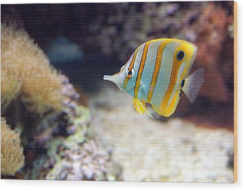 Wood Print featuring the photograph Copper-banded Butterfly Fish by Kathleen Stephens