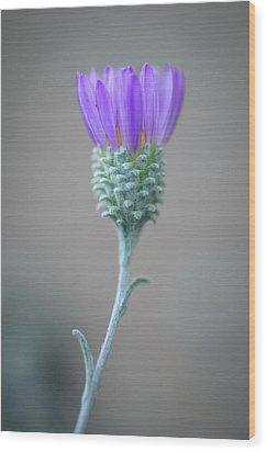 Wood Print featuring the photograph Corethrogyne Filaginifolia by Alexander Kunz