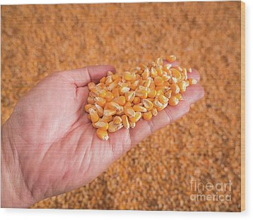 Wood Print featuring the photograph Corn Seeds In Hand With Pile Of Ripe Corn Seeds In Background. by Tosporn Preede