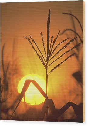 Cornfield Sunset Wood Print