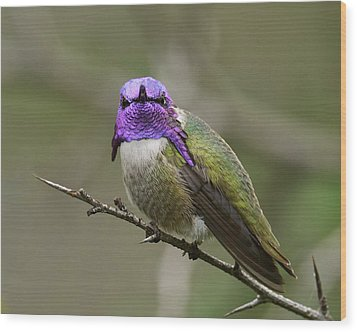 Costa's Hummingbird, Solano County California Wood Print by Doug Herr