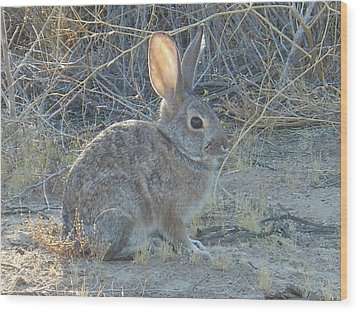 Cottontail Rabbit Morning Light Wood Print