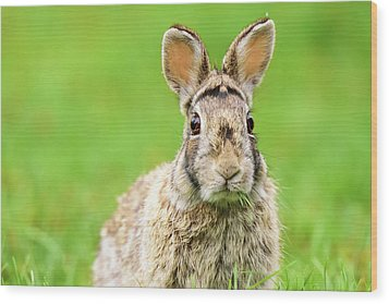 Cottontail Rabbit Wood Print