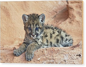 Cougar Kitten Resting Wood Print by Melody Watson