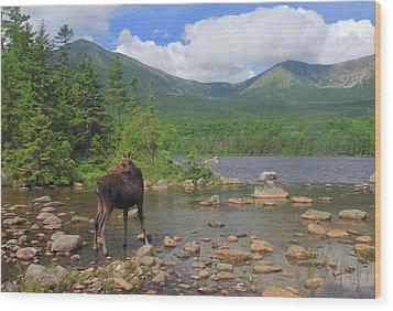 Cow Moose Looking Back At Sandy Stream Pond Wood Print by John Burk