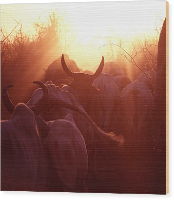 Cows Are Driven Into A Karimojong Kraal Wood Print by David Pluth