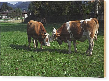 Wood Print featuring the photograph Cows Nuzzling by Sally Weigand