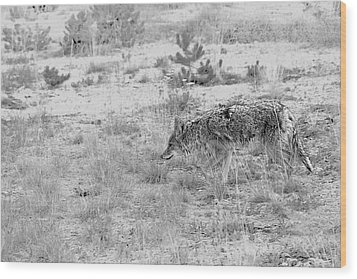 Coyote Blending In Wood Print by Christine Till