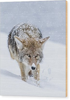 Coyote Coming Through Wood Print