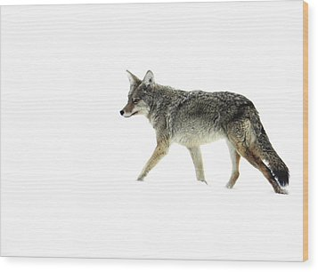 Wood Print featuring the photograph Coyote Crossing by Meagan  Visser