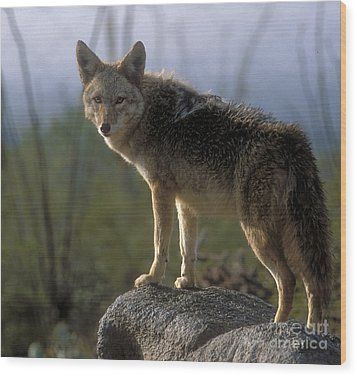 Coyote In Ocotillo Trees Wood Print by Sandra Bronstein