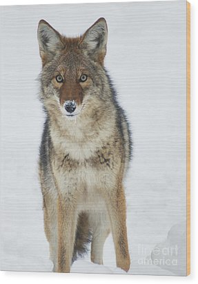 Coyote Looking At Me Wood Print by Stanza Widen