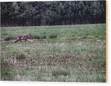 Coyote On The Prowl Wood Print