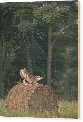 Wood Print featuring the photograph Coyote Stretching On Hay Bale by Michael Dougherty