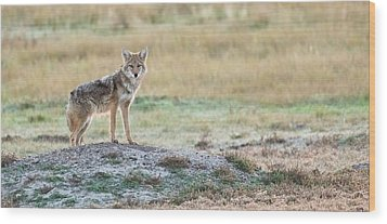 Coyotee Wood Print by Kelly Marquardt