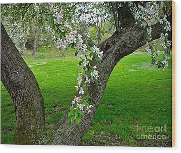 Crabapple Blossoms On A Rainy Spring Day Wood Print