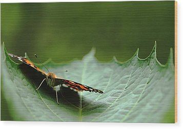Wood Print featuring the photograph Cradled Painted Lady by Debbie Oppermann