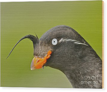 Crested Auklet Wood Print by Desmond Dugan/FLPA