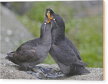 Crested Auklet Pair Wood Print