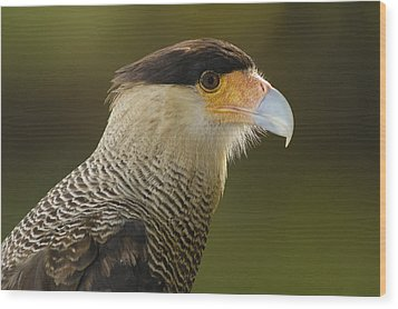 Crested Caracara Polyborus Plancus Wood Print by Pete Oxford
