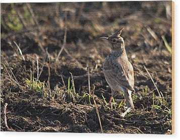 Crested Lark Wood Print by Cliff Norton