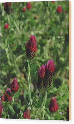 Crimson Clover Wood Print by Robyn Stacey