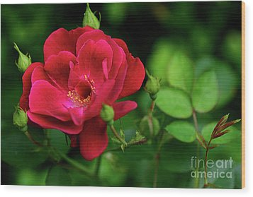 Wood Print featuring the photograph Crimson Red Rose By Kaye Menner by Kaye Menner