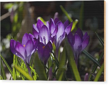 Crocus Carnival Wood Print by Shawn Young