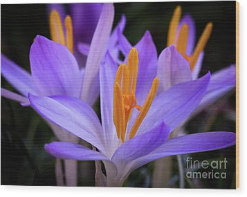 Wood Print featuring the photograph Crocus Explosion by Douglas Stucky