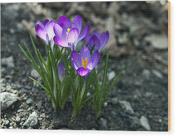 Crocus In Bloom #2 Wood Print