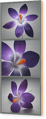 Crocus Triptych. Wood Print by Terence Davis