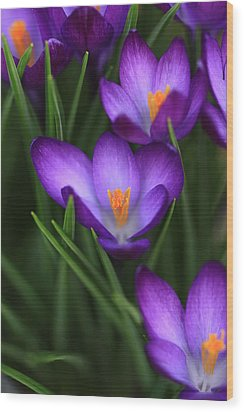 Crocus Vividus Wood Print