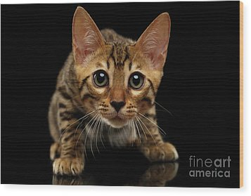 Crouching Bengal Kitty On Black  Wood Print by Sergey Taran