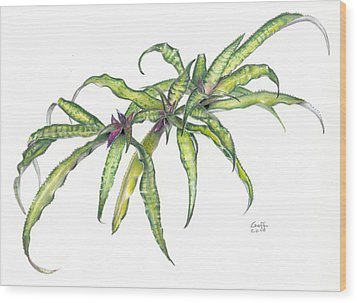 Cryptanthus Fred Ross Wood Print
