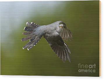 Cuckoo Flying Wood Print by Steen Drozd Lund